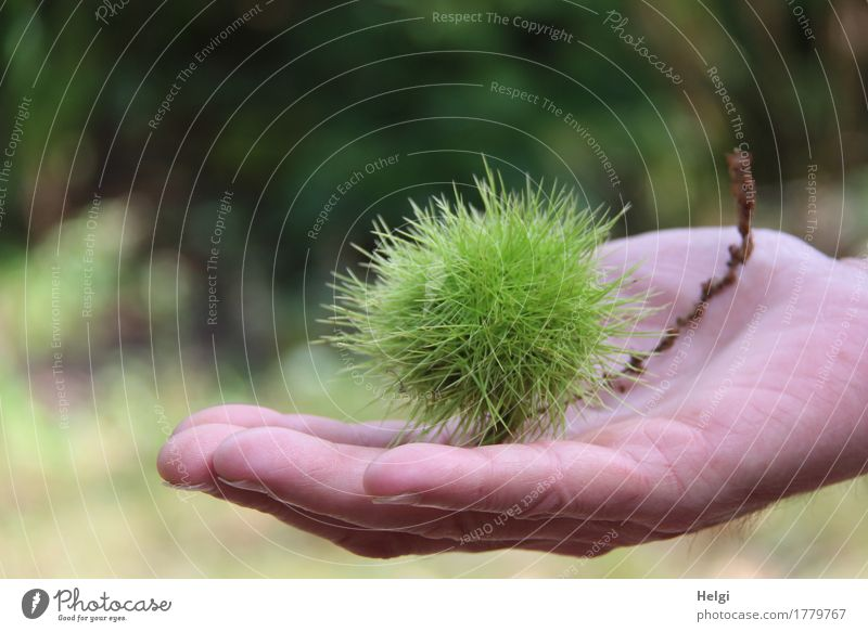 ouch...that stings. Human being Masculine Hand Fingers 60 years and older Senior citizen Environment Nature Plant Autumn Wild plant Chestnut Sweet chestnut