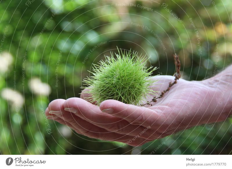 autumn fruit Human being Masculine Hand Fingers 1 60 years and older Senior citizen Environment Nature Plant Autumn Beautiful weather Tree Wild plant Chestnut