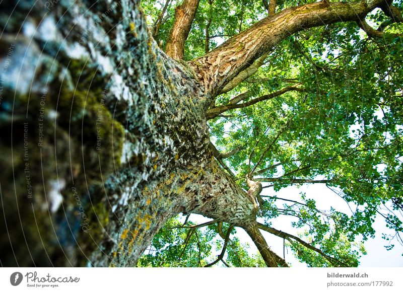 Nature Old Tree Green Blue Summer Leaf Animal Power Large Branch Firm Natural Tree trunk Strong Positive