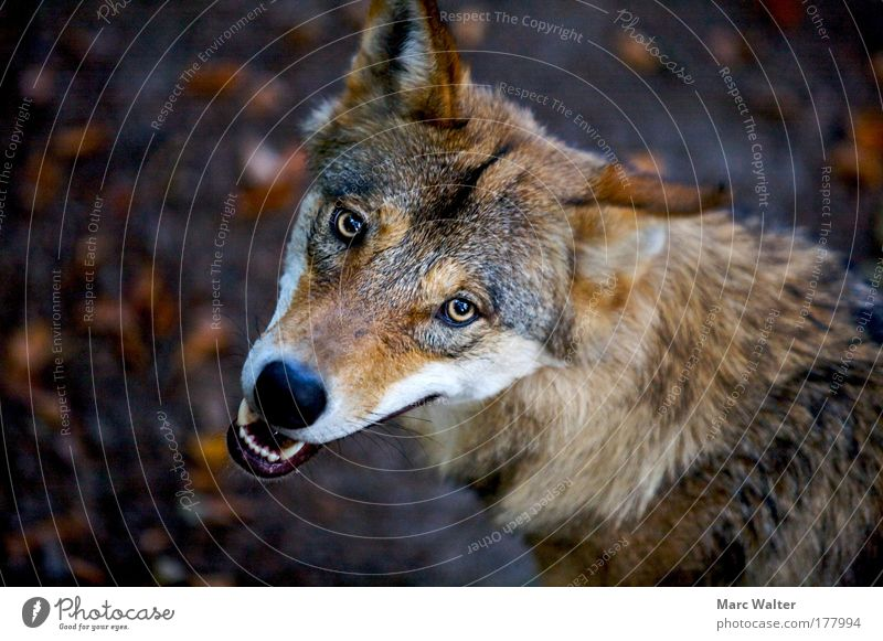 Canis lupus Animal Wild animal Animal face 1 Aggression Threat Brown Watchfulness Fear Dangerous Wolf Set of teeth Eyes Show your teeth Snarl Colour photo