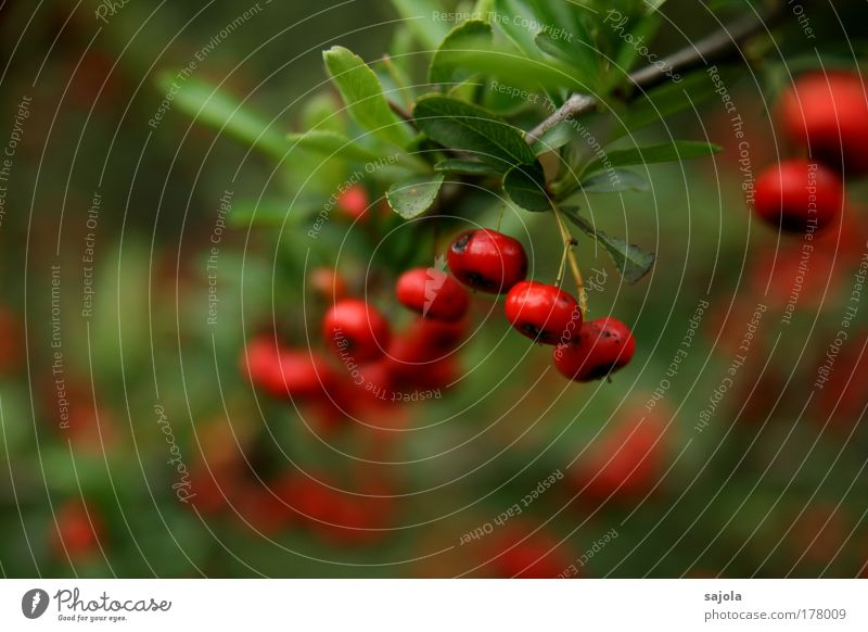 Red Berries Colour photo Exterior shot Close-up Copy Space left Copy Space bottom Day Shallow depth of field Environment Nature Plant Bushes Foliage plant