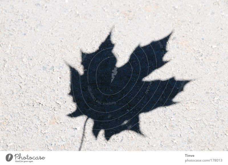 no pipe chess test Subdued colour Exterior shot Close-up Copy Space left Copy Space top Day Light Shadow Contrast Silhouette Leaf Sharp-edged Maple leaf Prongs