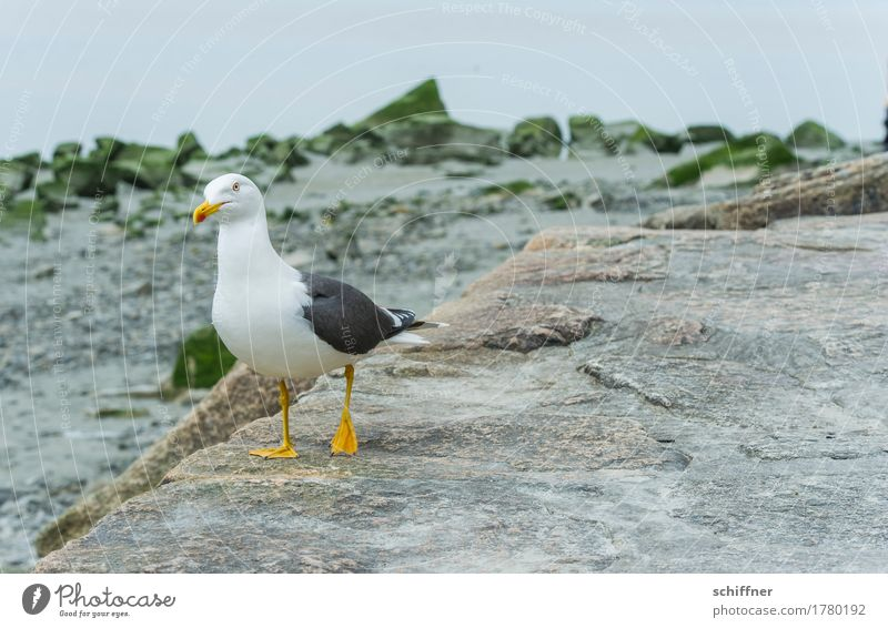 Look for food. Animal Wild animal Bird 1 Stand Balance One-legged Seagull Gull birds Stone Coast Search Looking Exterior shot Deserted