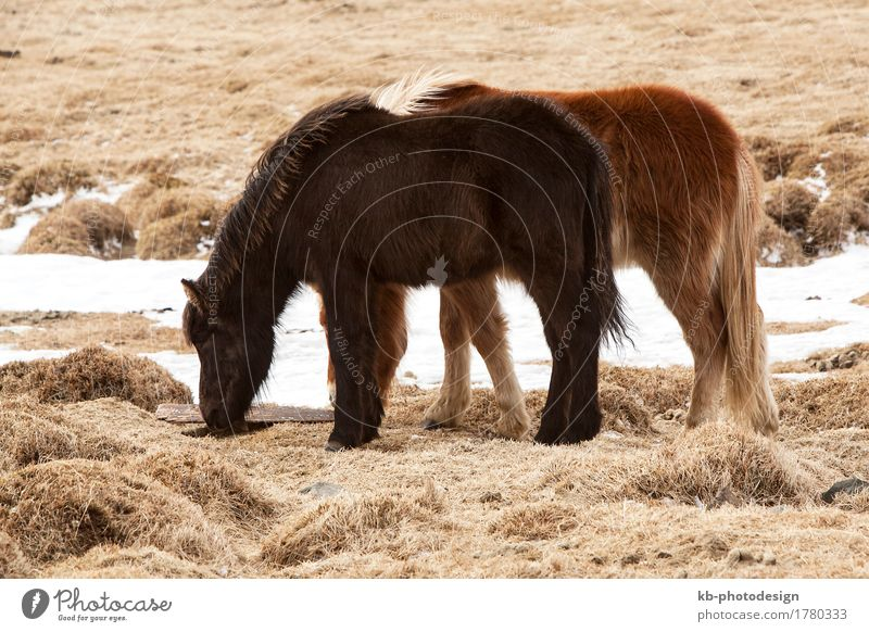 Two Icelandic ponies on a meadow in spring Vacation & Travel Tourism Adventure Far-off places Winter Winter vacation Wind Animal Wild animal Horse 2