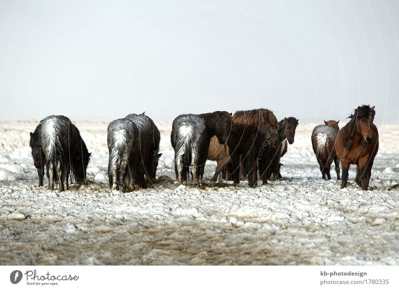Vacation & Travel Tourism Horse Iceland Herd Winter vacation