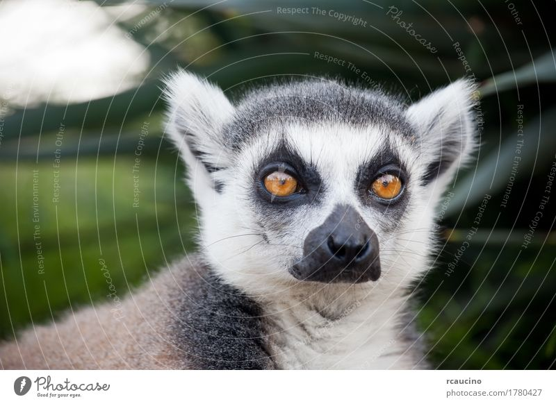 Ring-tailed lemur (Lemur catta) Nature White Tree Animal Black Africa Zoo Wilderness Madagascar