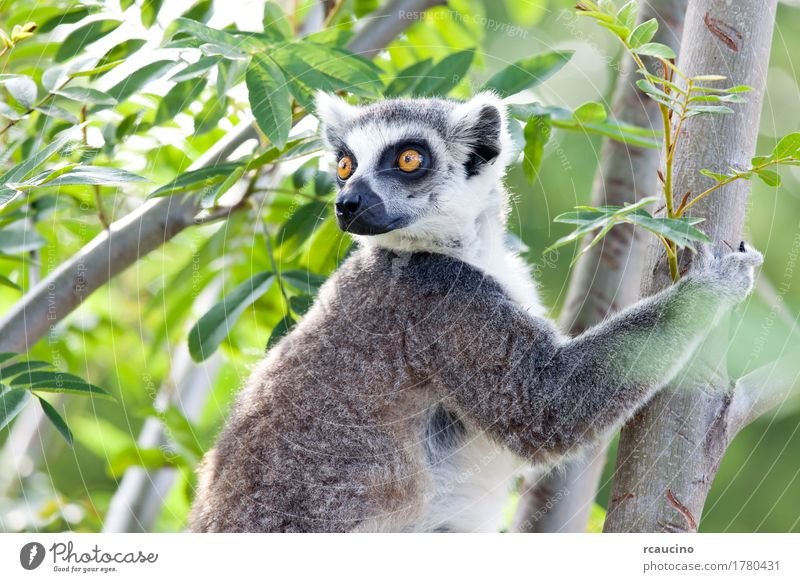 Ring-tailed lemur (Lemur catta) Zoo Nature Animal Tree Black White Africa Madagascar one primates Wilderness Colour photo
