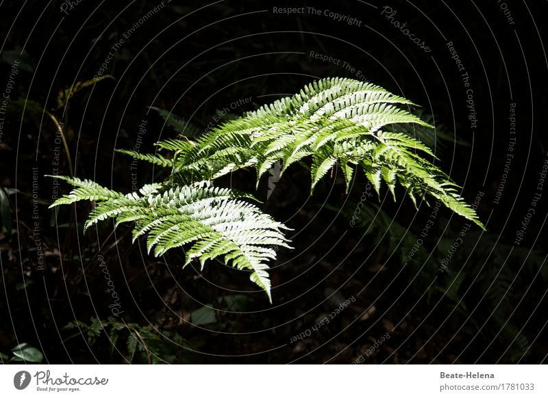 ray of hope Elegant Nature Plant Fern Forest Lanes & trails Illuminate Esthetic Glittering Bright Clean Point Green Black Moody Uniqueness Exotic Fern leaf