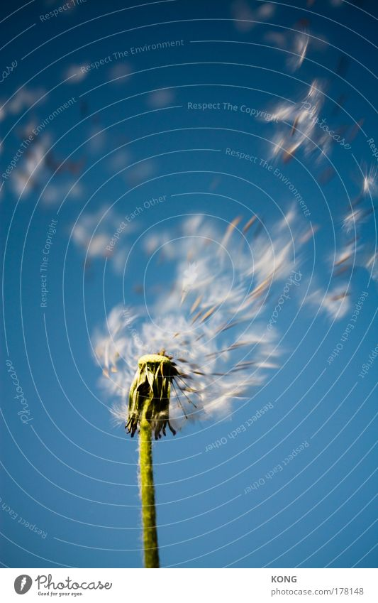 Plant Summer Flower Going Flying Aviation Transience Dandelion Blow Dynamics Easy Seed Hover Departure Parachute Airy