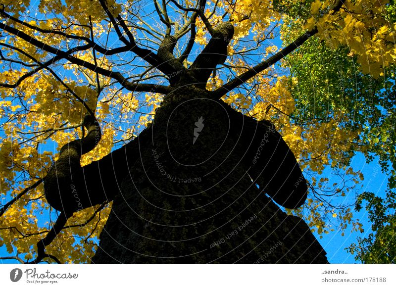 giant tree Colour photo Exterior shot Day Worm's-eye view Environment Nature Plant Autumn Beautiful weather Tree Wood Old Large Strong Blue Yellow Green Black
