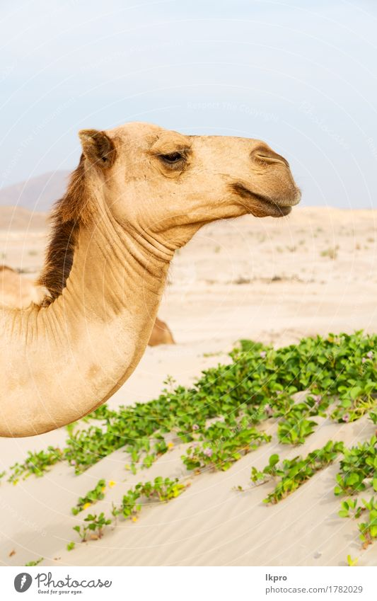 a free dromedary near the sea Vacation & Travel Tourism Safari Summer Nature Plant Animal Sand Sky Hot Wild Brown Gray Black White Asia Arabia arid Beast