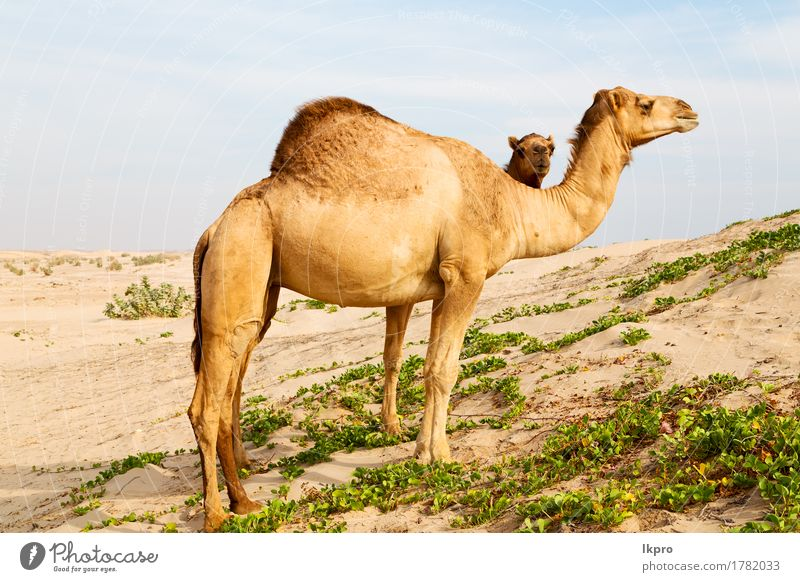 free dromedary near the sea Eating Vacation & Travel Tourism Safari Summer Nature Plant Animal Sand Sky Hair Hot Wild Brown Gray Black White Asia Arabia arid