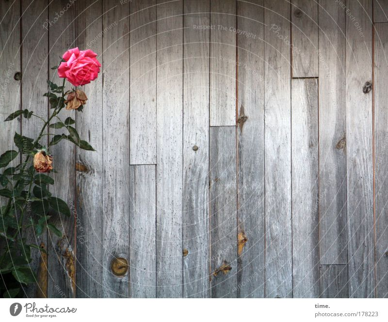 Flower Green Red Wall (building) Blossom Wood Structures and shapes Rose Twig Wood grain Wooden wall