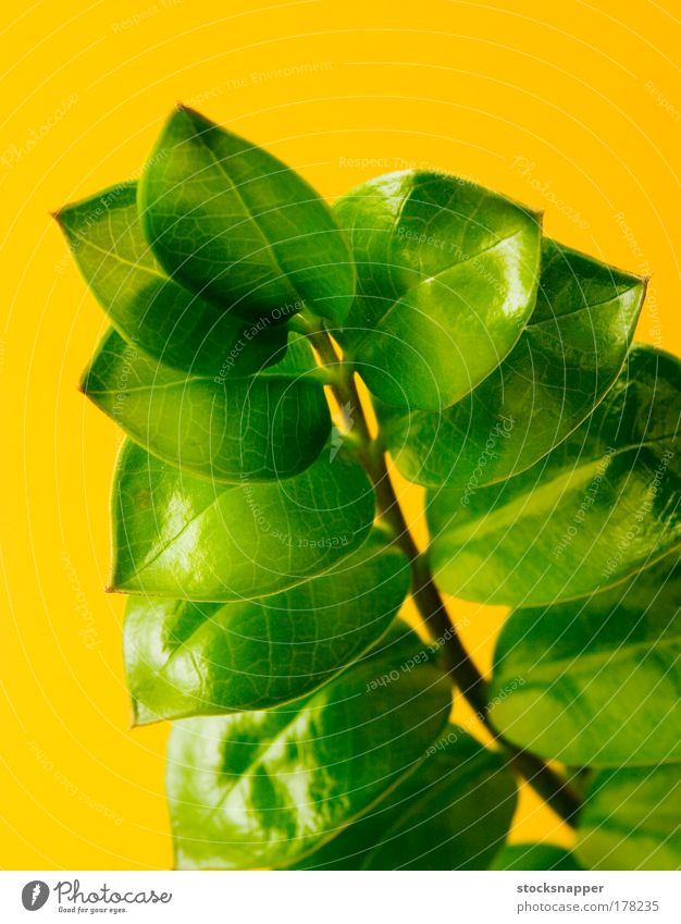 Zamioculcas Nature Green Plant Leaf Yellow Natural Growth Branch Fat Upward Gardening Development