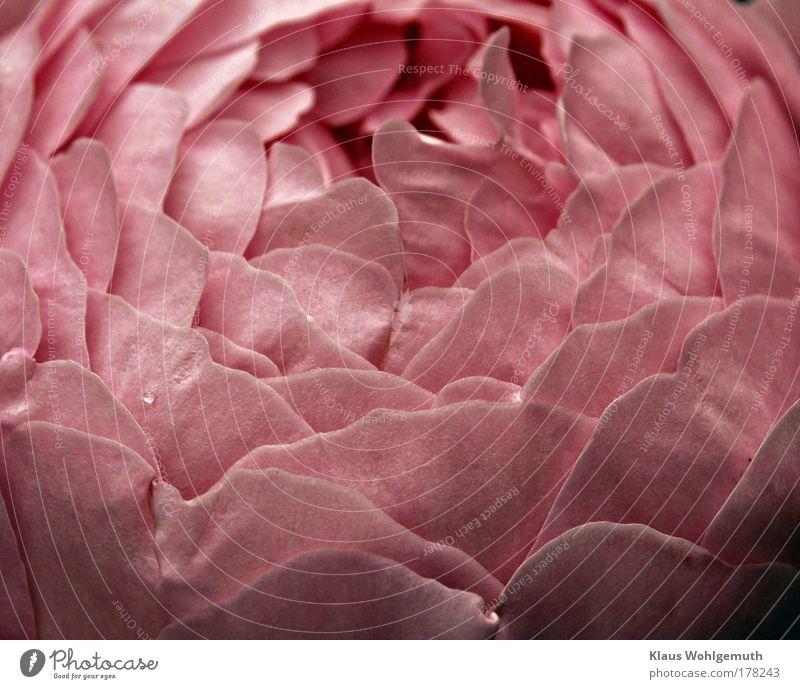 Nature Beautiful Plant Summer Flower Relaxation Pink Elegant Esthetic Growth Romance Rose Fragrance Senses