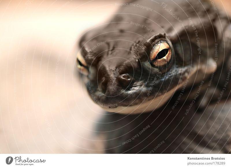 Animal Eyes Dark Sit Nose Large Observe Damp Fat Frog Intoxicant Breathe Aquarium Poison Amphibian