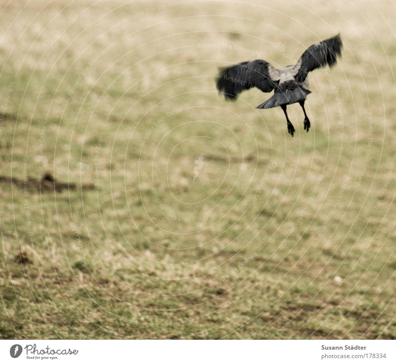Nature Plant Black Animal Dark Meadow Movement Air Bird Field Flying Feather Hunting Pigeon Claw Raven birds