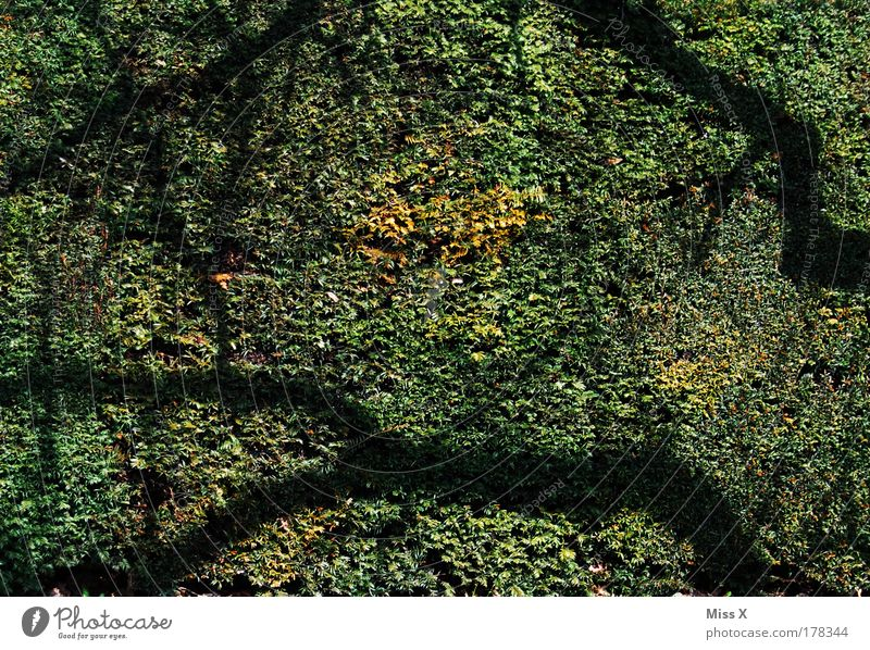 shadow Colour photo Subdued colour Exterior shot Light Shadow Sunlight Environment Nature Plant Bushes Leaf Foliage plant Park Green Hedge Branch Day