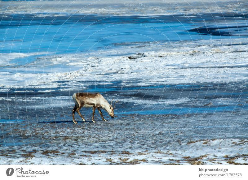 Reindeer at a lake in Iceland Vacation & Travel Tourism Adventure Far-off places Nature Wild animal 1 Animal Stove & Oven mammal free panorama blue wilderness