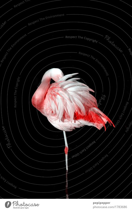 Still Standing Elegant Body Zoo Nature Animal Wild animal Bird Flamingo Wing Feather 1 Growth Esthetic Pink Black Loneliness Exterior shot Close-up