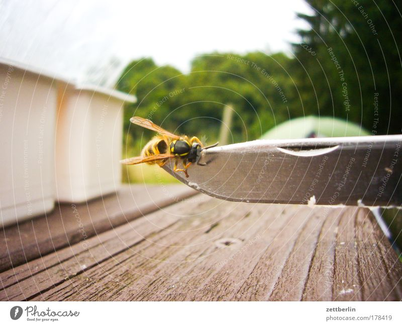 wasp Wasps Insect Pierce Knives cutting edge Blade Camping Table Wood Wooden board Camping site bothersome Annoyance Fear Panic Fear of death Bee Hornet