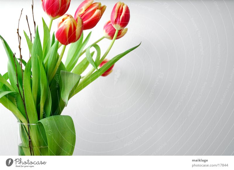 5 tulips Tulip Red Green White Spring Flower Nature Bouquet