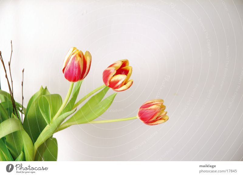 3 tulips Tulip Red Green White Spring Flower Nature Bouquet