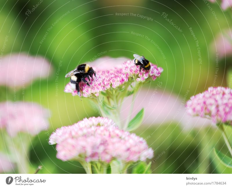 late summer bumble bees Summer Beautiful weather Flower Blossom Garden Bumble bee Insect 2 Animal Blossoming Fragrance Crawl Esthetic Friendliness Natural