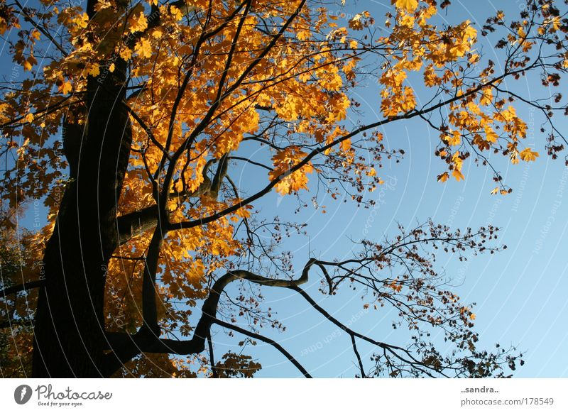 AutumnGold Colour photo Exterior shot Day Worm's-eye view Nature Plant Sky Sun Beautiful weather Tree Leaf Wood Esthetic Large Blue Black Calm Power Tree trunk