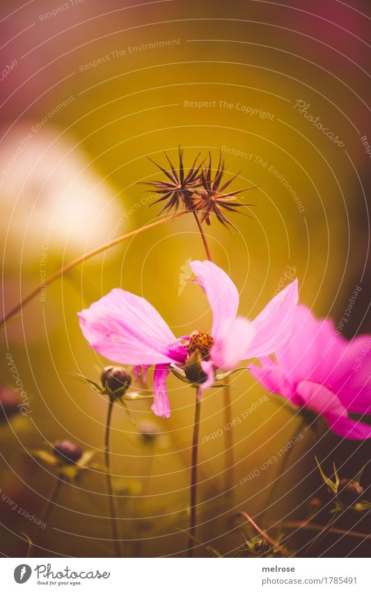 Nature City Plant Summer Flower Relaxation Blossom Meadow Grass Style Garden Together Pink Illuminate Elegant Gold