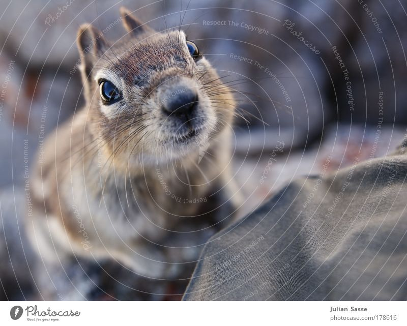 squril Colour photo Exterior shot Detail Macro (Extreme close-up) Bird's-eye view Looking into the camera Nature Crouch Squirrel Animalistic Sweet Curiosity
