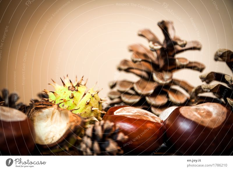 sperm donor Thanksgiving Nature Autumn Seed Chestnut Cone Thorn Brown Growth Colour photo Subdued colour Interior shot Studio shot Close-up Detail