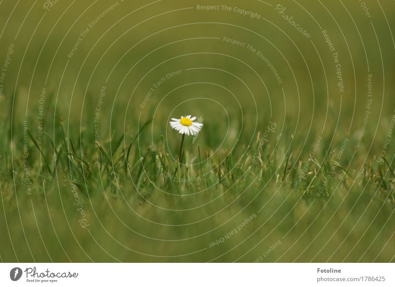 Lonely Daisy Environment Nature Plant Summer Beautiful weather Flower Grass Blossom Foliage plant Garden Park Meadow Near Natural Yellow Green White Summery
