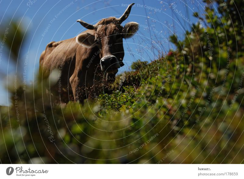 Nature Vacation & Travel Relaxation Environment Mountain Hiking Tourism Alps Pasture Cow Organic produce Austria Tradition Juicy Meadow Alpine pasture