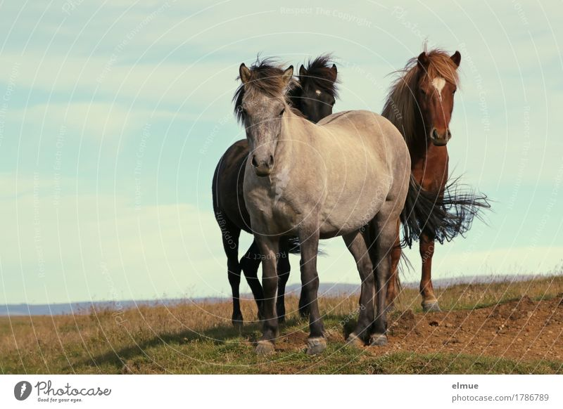curious Icelanders Vacation & Travel Wind Horse Iceland Pony Mane Tails Gray (horse) Bay (horse) Black horse Group of animals Communicate Stand Authentic Free