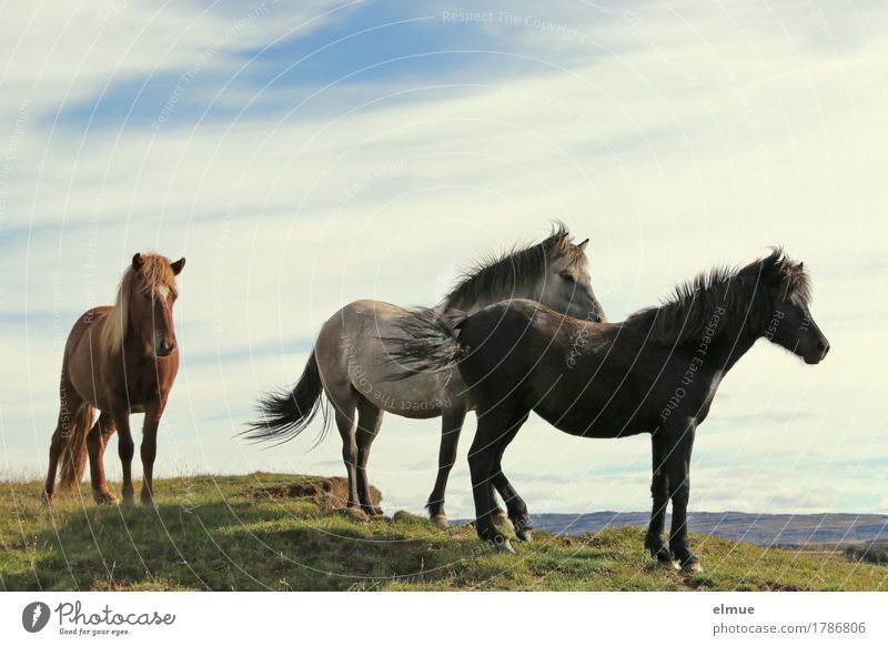 Icelanders Vacation & Travel Nature Beautiful weather Wind Horse Iceland Pony Black horse Gray (horse) Bay (horse) Mane Group of animals Communicate Stand