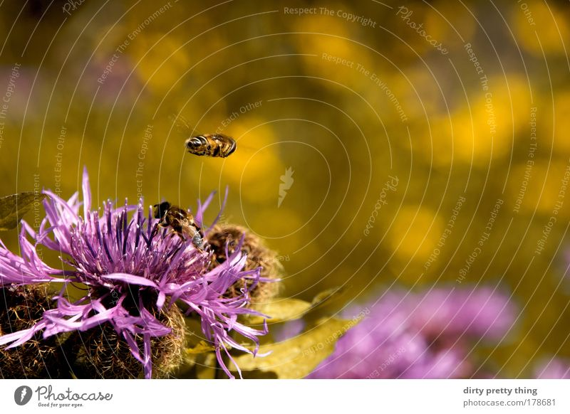 Nature Plant Summer Animal Yellow Mountain Flying Violet Bee