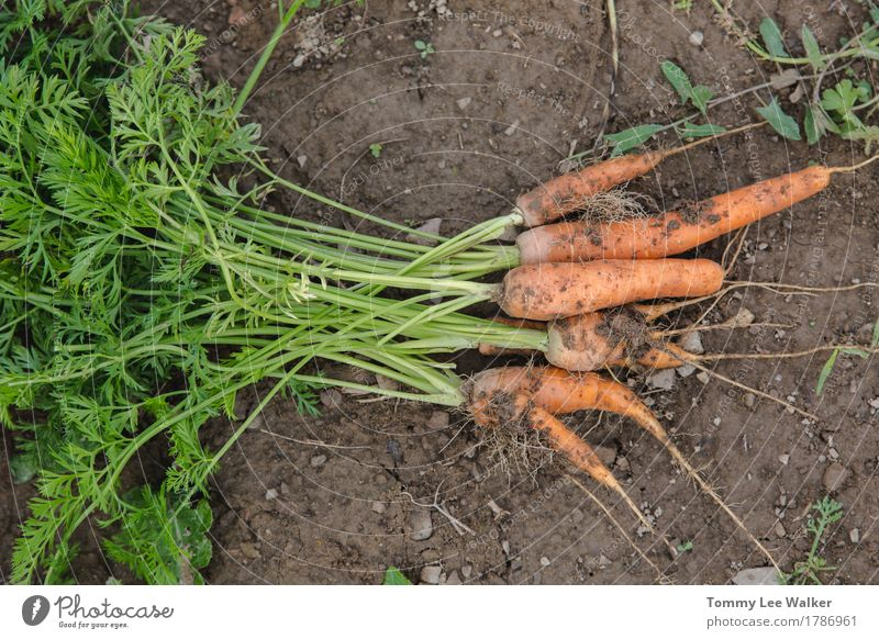 Handpicked carrot Vegetable Lifestyle Nature Earth Dirty Delicious Tradition Organic flavors Harvest Home-made food home growing Carrot safe food health