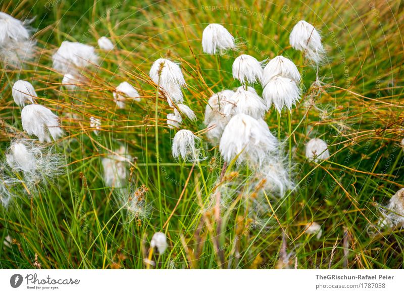 plant Nature Plant Brown Gold Green White Absorbent cotton Soft Flower Bog Grass Exterior shot Touch Colour photo Detail Deserted Day