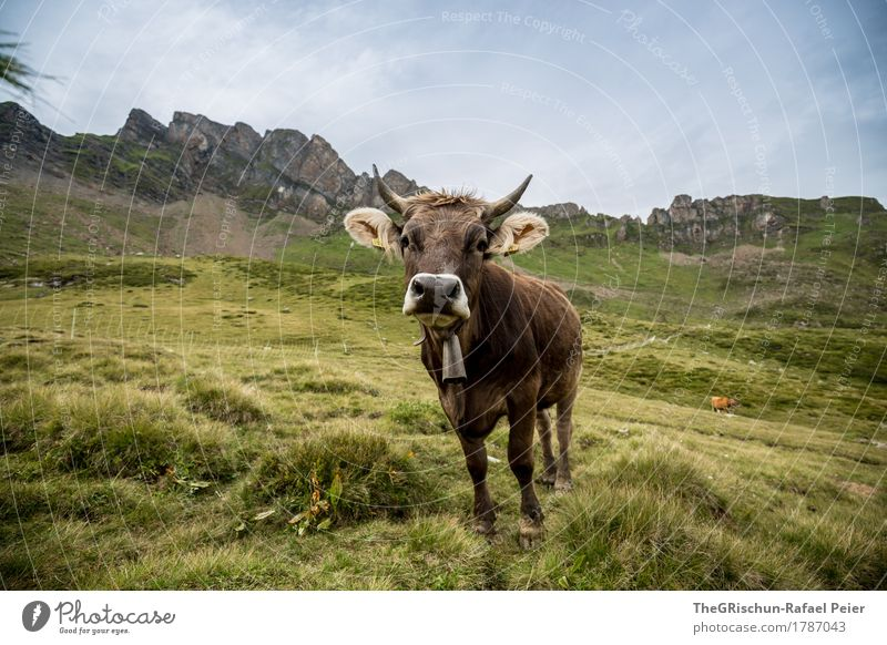 cow Animal Farm animal Cow 1 Blue Brown Green Bell Antlers Nose Curiosity Exterior shot To feed Pasture Mountain Milk Ear Switzerland Happy Colour photo