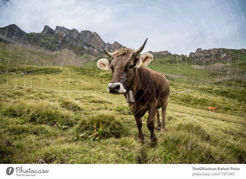KUH II Animal Farm animal Cow 1 Brown Gray Green Cute Nose Bell Antlers Ear Mountain Set Pasture To feed Curiosity Milk Colour photo Exterior shot Deserted