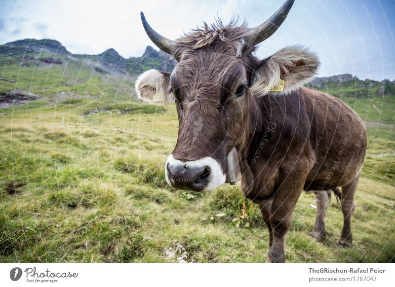 KUH IV Animal Farm animal Cow 1 Brown Green Black White Living thing Exterior shot Tilt Antlers Ear Pasture To feed Eating Alps Mountain Bell Switzerland Pelt