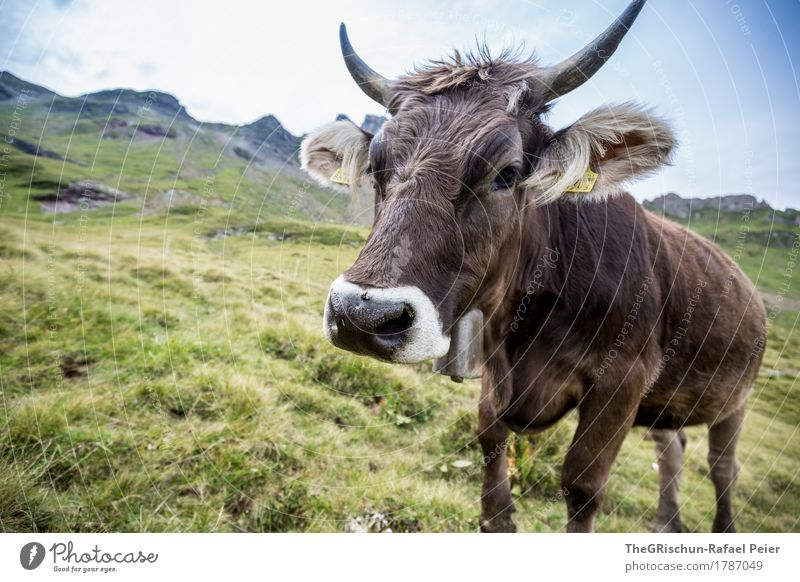 swiss cow Animal Farm animal Cow 1 Brown Green Black White Antlers Switzerland Alps Pasture Happy Grass To feed Bell Ear Nostril Cute Pelt Milk Hay Mountain