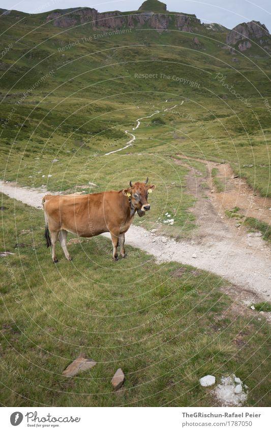 cow Animal Farm animal Cow 1 Brown Gray Green Black White Lanes & trails Alps Pasture Mountain Antlers Stone Exterior shot Milk Grass Colour photo Deserted