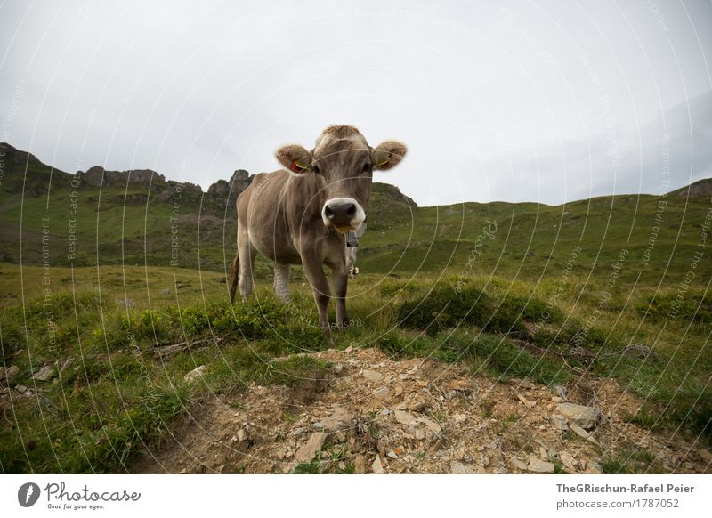 cow Animal Farm animal Cow 1 Brown Gray Green Black White Living thing Pelt Ear Grass Mountain Milk Exterior shot To feed Pasture Switzerland Colour photo