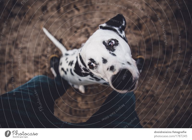 Dalmatians. Animal Pet Dog 1 Wait Brash Curiosity Loyalty Expectation Cute Character Honest Legs Floor covering Provocative Impatience Ask Colour photo