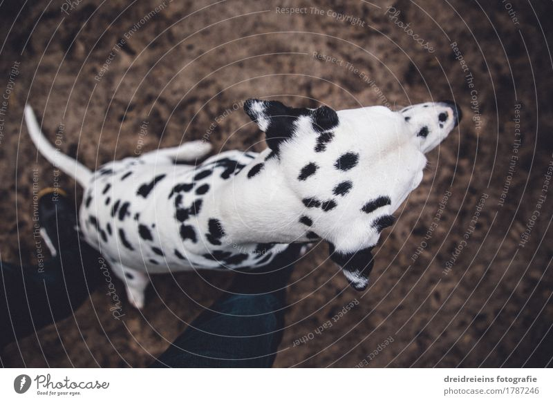 What's that? Animal Pet Dog 1 Sit Wait Cute Loyalty Expectation Dalmatian Character Watchfulness Honest Legs Floor covering Impatience Wide angle Colour photo
