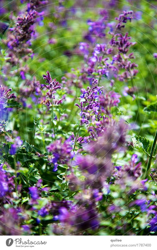 Nature Plant Green Beautiful Environment Field Fresh Violet Fragrance Lavender Juicy