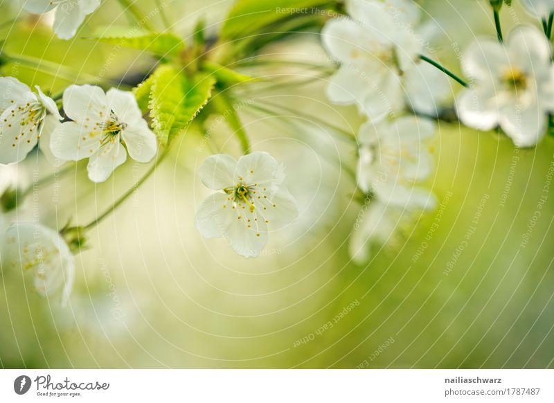 Cherry tree in spring Environment Nature Plant Spring Tree Flower Blossom Agricultural crop Cherry blossom Twigs and branches Garden Park Blossoming Fragrance