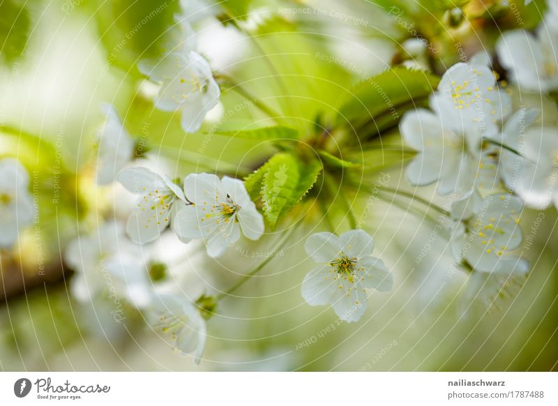 cherry blossom Nature Plant Spring Tree Flower Blossom Agricultural crop Branch Twig Cherry blossom Garden Park Blossoming Fragrance Jump Growth Fresh Natural